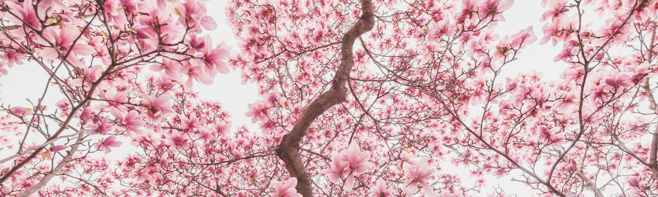 Magnolia un dono della natura
