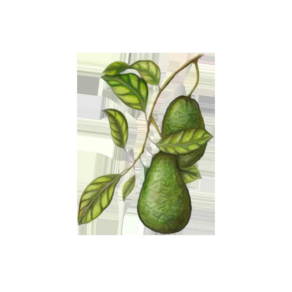 Avocado - BeC natura