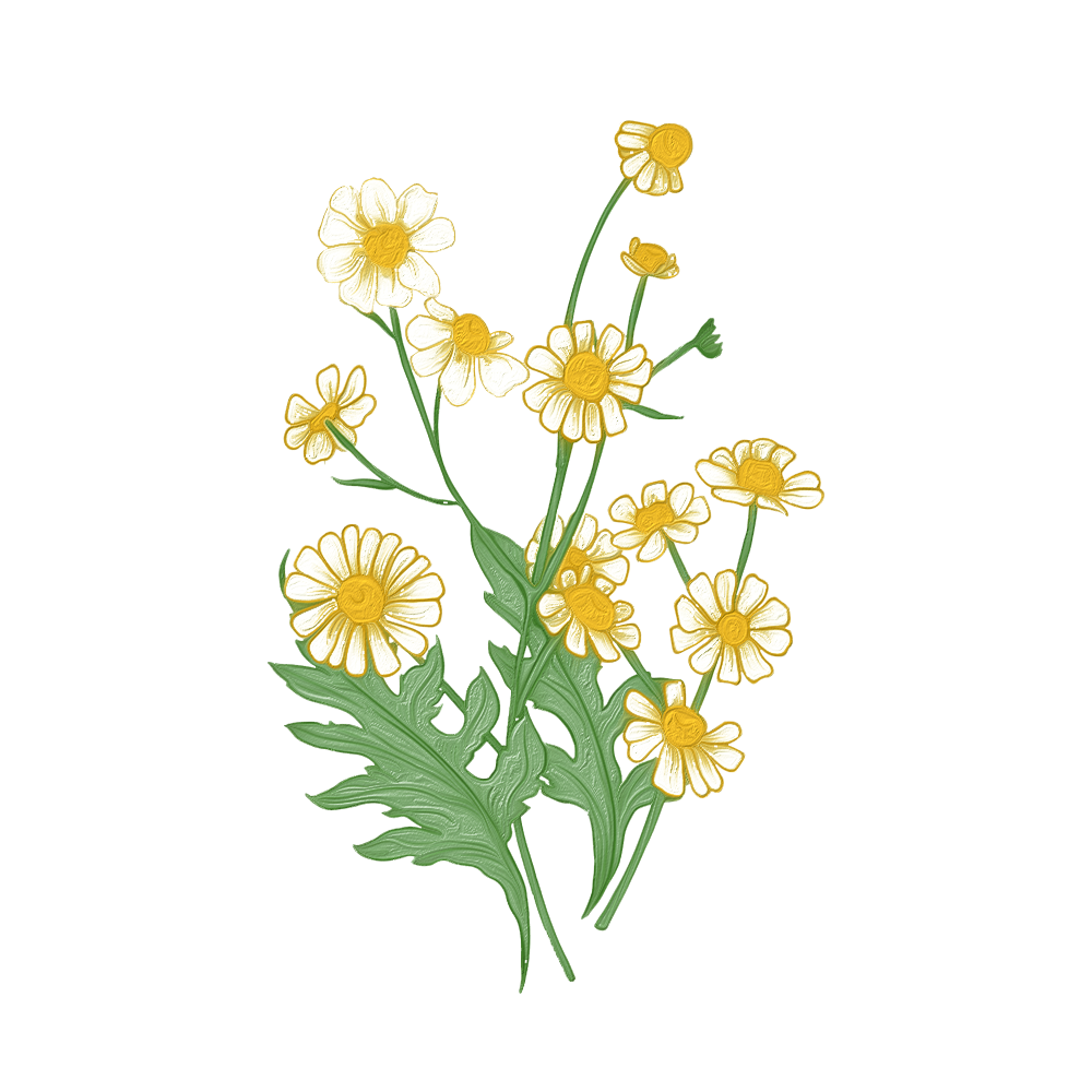 Chamomilla Recutita (Camomilla Comune o Matricaria) - Bec natura