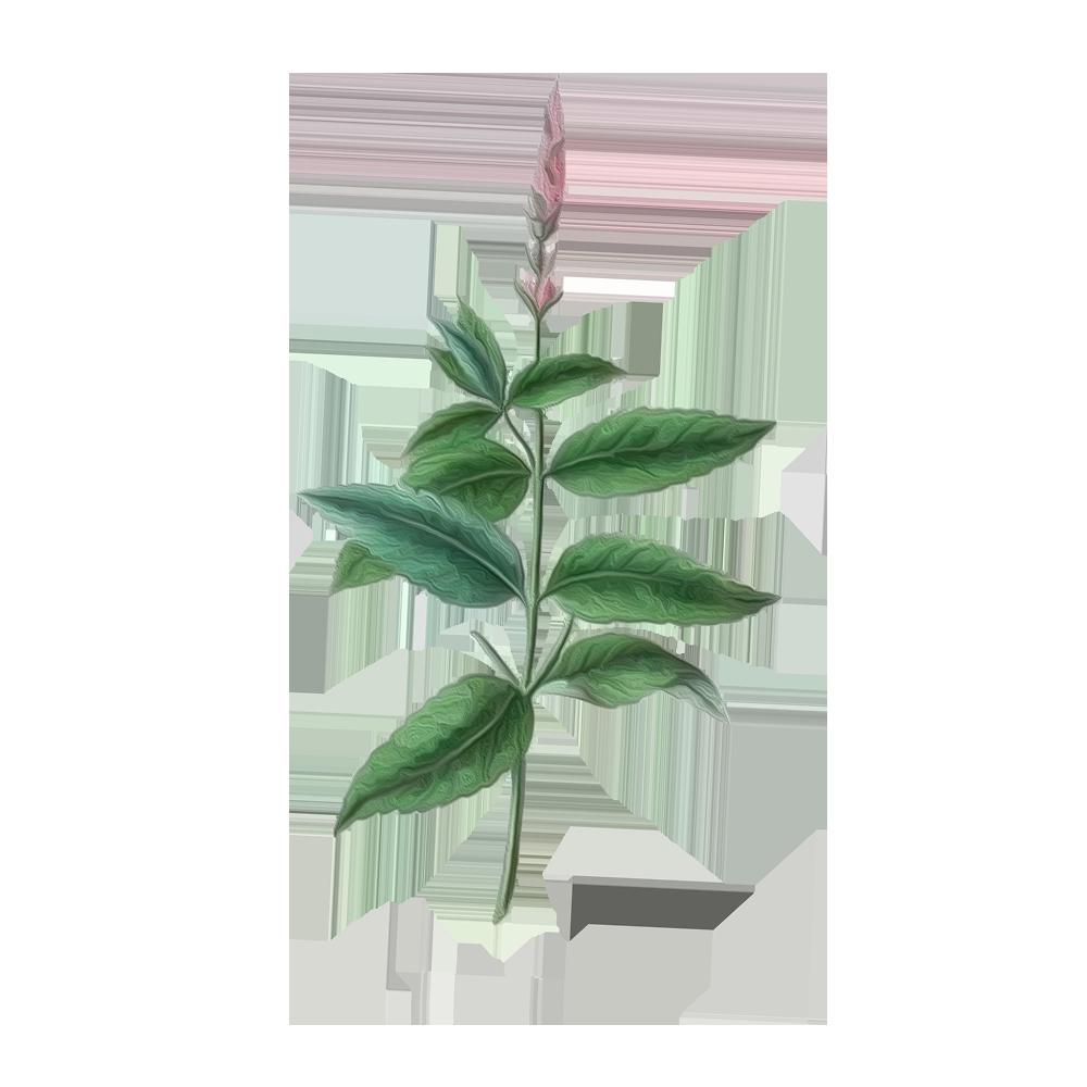 Menta-piperita - BeC natura